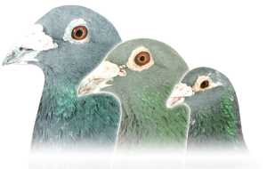Team Racing Pigeons to race in 2019